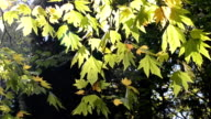 Autumn leaves under a sunny blue sky video