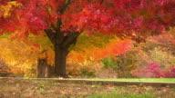 Autumn Leaves. video