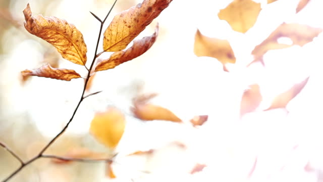 HD: Autumn Leaves video