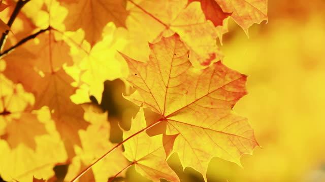 Autumn leaves-HQ1080p video