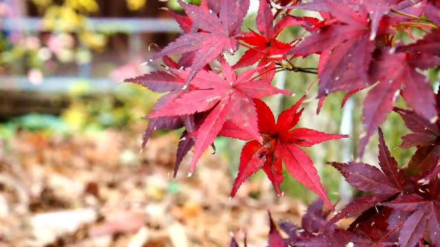 Autumn maple leaves foreground in forest video