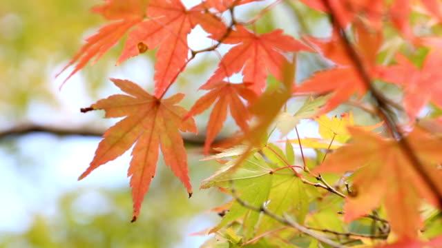 Autumn maple leaves video