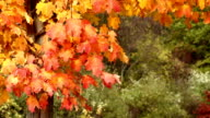 Autumn Maple Tree Leaves Blowing in the Wind video