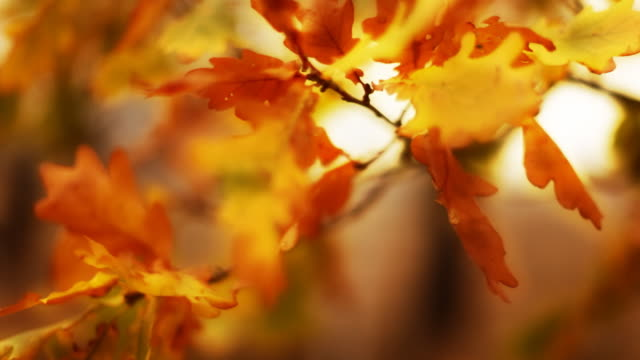 Autumn oak leaves video