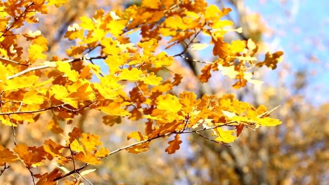 Autumn oak leaves video