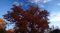 Autumn Oak Stands Against Time Lapse Sky video