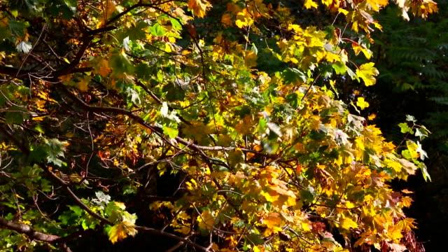 Autumn Orange Leaves video