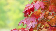 Autumn red maple leaves with blured green foliage in the background video
