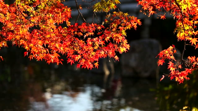 Autumn red maple leaves with dark background for place text. video