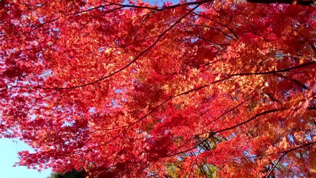 Autumn red maple tree in strong wind video