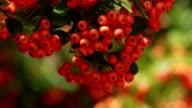 Autumn red rowan berries video