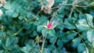 Autumn rose haw video