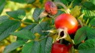 Autumn rosehip video