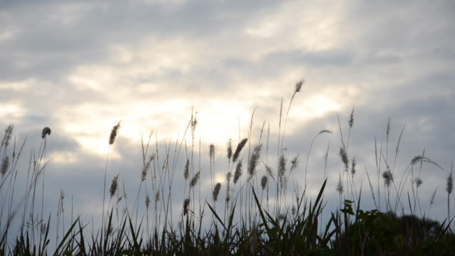 Autumn Tall Grass in the Wind video