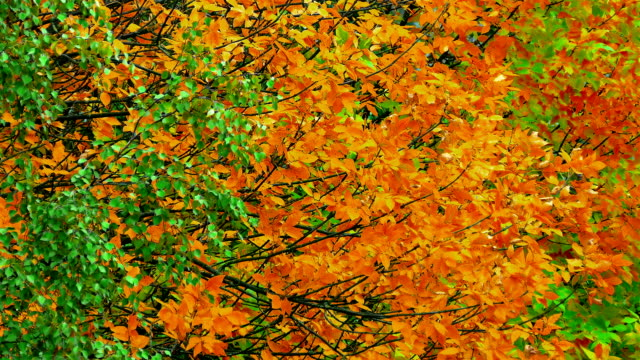 Autumn Tree / Autumn Forest / Autumn Leaves video