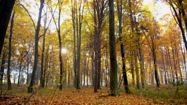 Autumn trees in the forest video