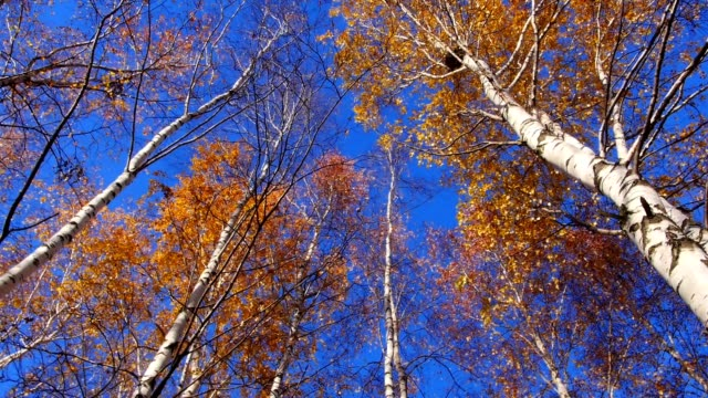 Autumn trees, rotating. video
