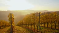 DS Autumn vineyard in the sunrise video