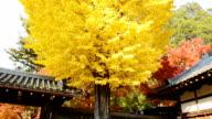 Autumn Yellow Ginkgo Tree Background video
