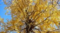 Autumn yellow ginkgo tree video