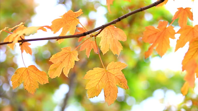 Autumn yellow maple leaves with foliage in the background video