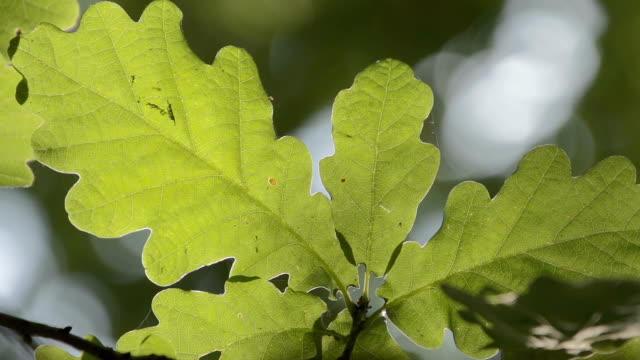 Autumnal Oak Leaves video