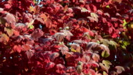 autumnal tree with red leaf with first frost in garden. FullHD video