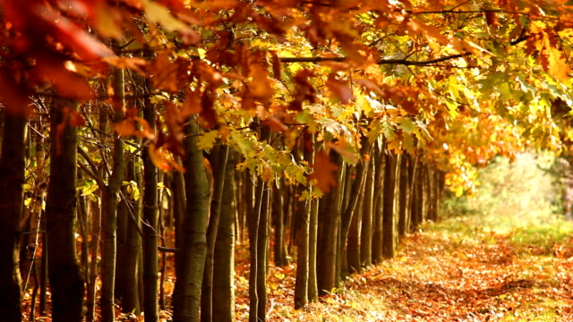 Avenue in the forest, beautiful autumn scenery. video