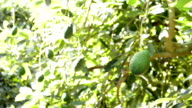 Avocado hass fruit hanging at tree in harvest in a plantation video