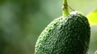 Avocado hass hanging at tree close up video