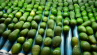 Avocado hass in packaging line video