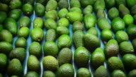 Avocados hass in packaging line, close up video