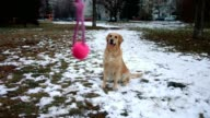 Awesome and funny golden retriever dog playing with a pink ball toy outdoors video