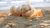 Awesome golden retriever dog rolling over on the beach sand video