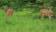 Axis deer video