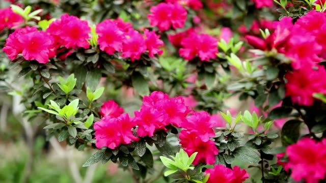 Azalea Bush Branch With a Plurality of Red Flowers and Small Leaves video