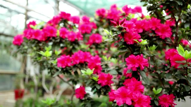 Azalea Bush Branch With a Plurality of Red Flowers and Small Leaves in Backdrop of   Greenhouse Window Focus Change video