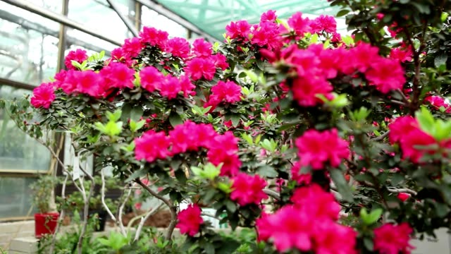 Azalea Bush With a Lot of Red Flowers on Background of a Greenhouse Window Focus   Change video