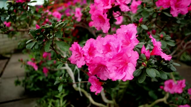 Azalea Bush With Lots of Pink Flowers With Water Drops on Petals video
