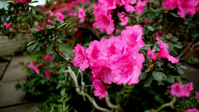 Azalea Bush With Plenty of of Pink Flowers With Water Drops on Petals video