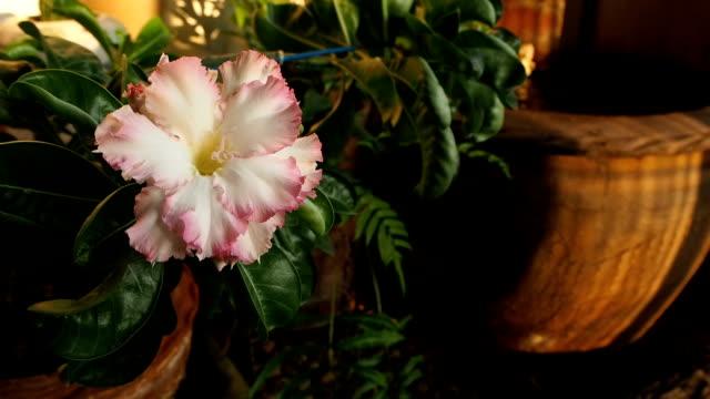Azalea flowers  in morning video