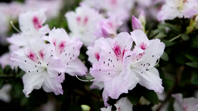 Azaleas White Flower With Purple Interspersed And Stamens With Black Edges on   Background of Large Leaves Close up video