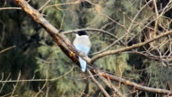 Azure Winged Magpie video