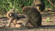 baboon monkey lousing video