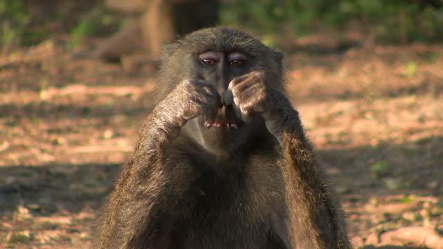 baboon monkey video