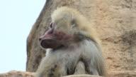 baboon video