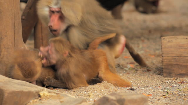 Baboons video