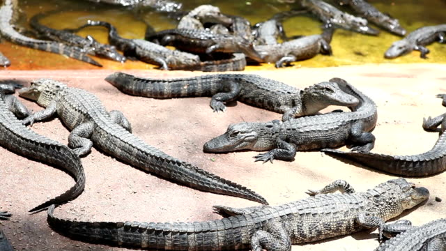 Baby Alligators video