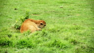 Baby American Bison Lying Down Alone During a Hot Day video