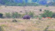 Baby and mama rhino eating video